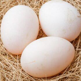 kachní vejce